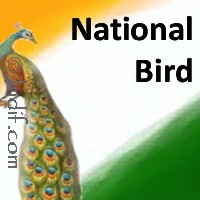 how to draw national bird of india